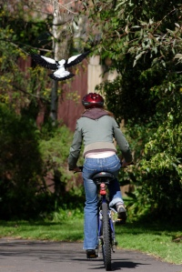 magpie cyclist fear